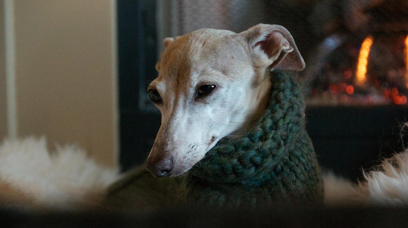 Chiara, en italiensk vinthund, klädd i en handstickad ylletröja. Foto: Brian Taylor / Unsplash