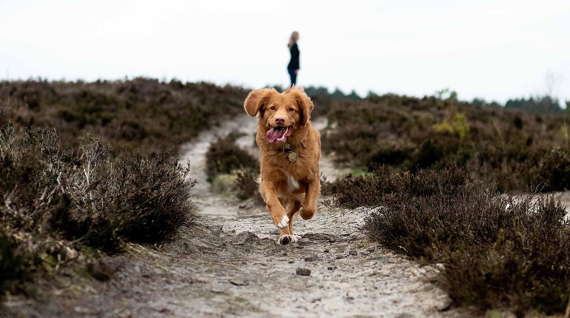 En brun hund springer på en sandig stig i dagsljus