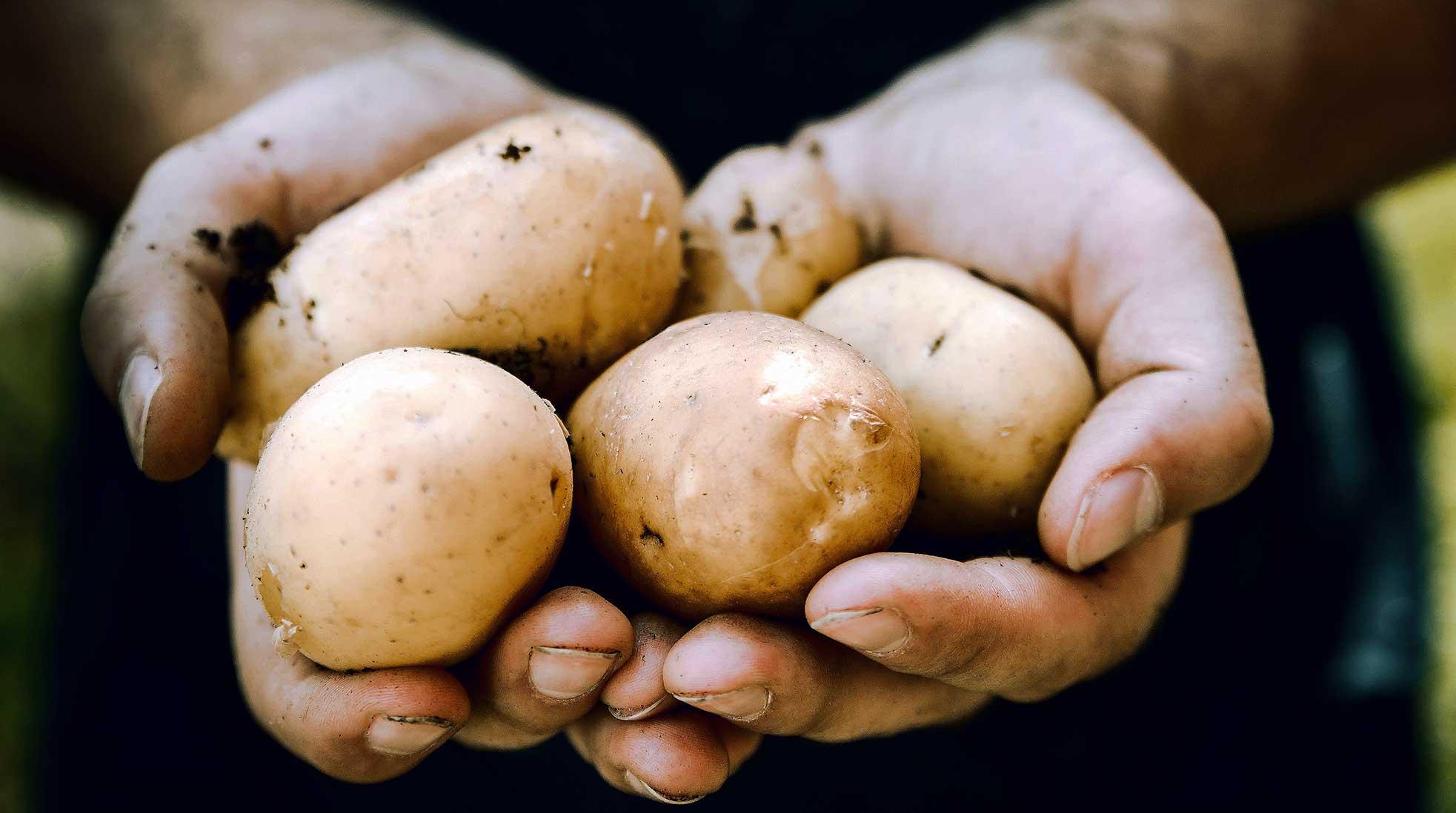 Två händer håller upp några jordiga potatisar