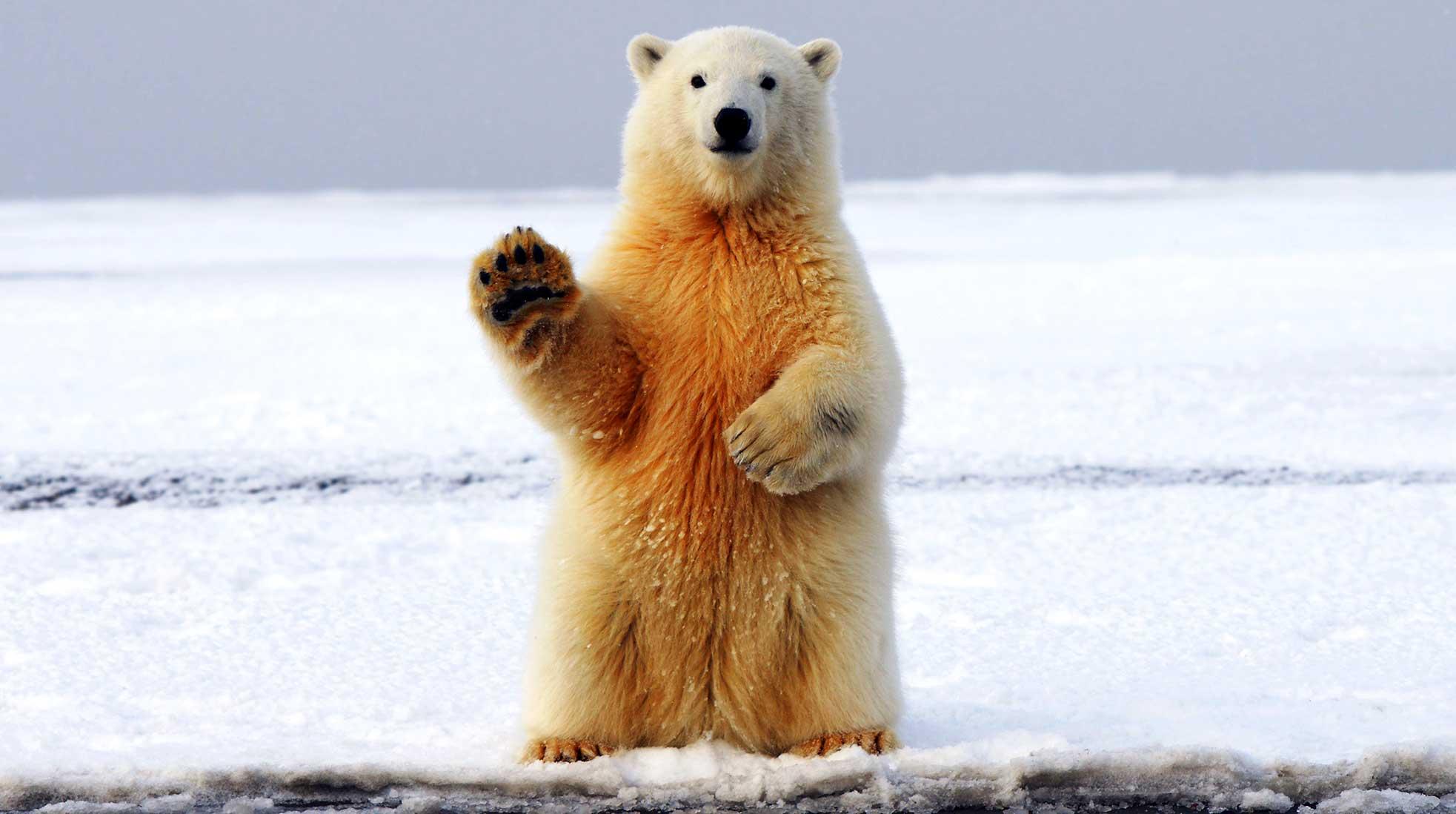 En isbjörn säger hej. Foto: Hans-Jurgen Mager / Unsplash